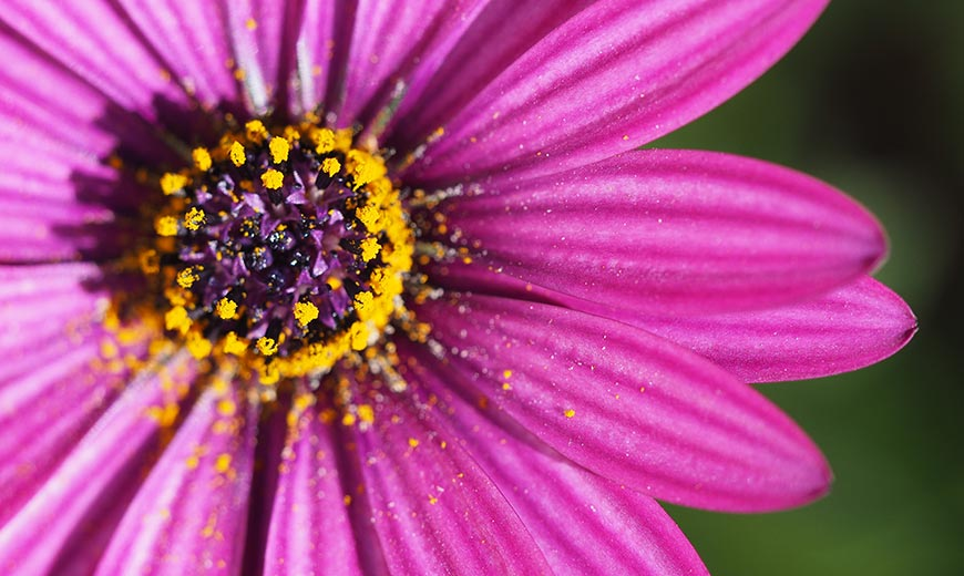 flower with pollen that can cause hay fever