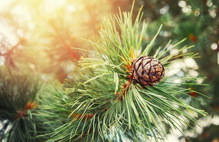 pure organic cedarwood essential oil